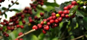 catuai-–-انواع-قهوه-که-داستان-شما-را-برای-شما-بازگو-خواهد-کرد.