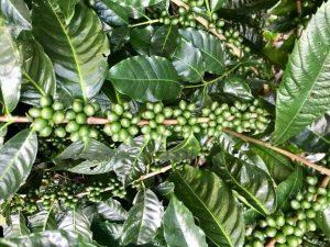 توسعه-قهوه-در-carole-zbinden