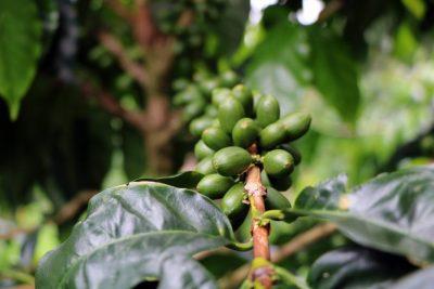 قهوه-نیکاراگوئه-،-یک-استثنا
