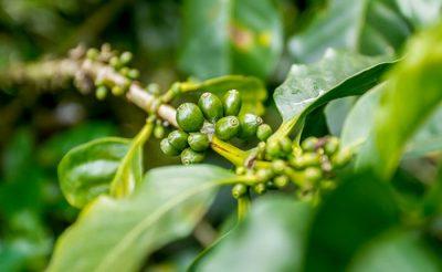 قهوه-کارناتاکا-هند