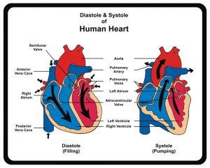 قلب-چگونه-کار-می-کند؟-(فیلم)